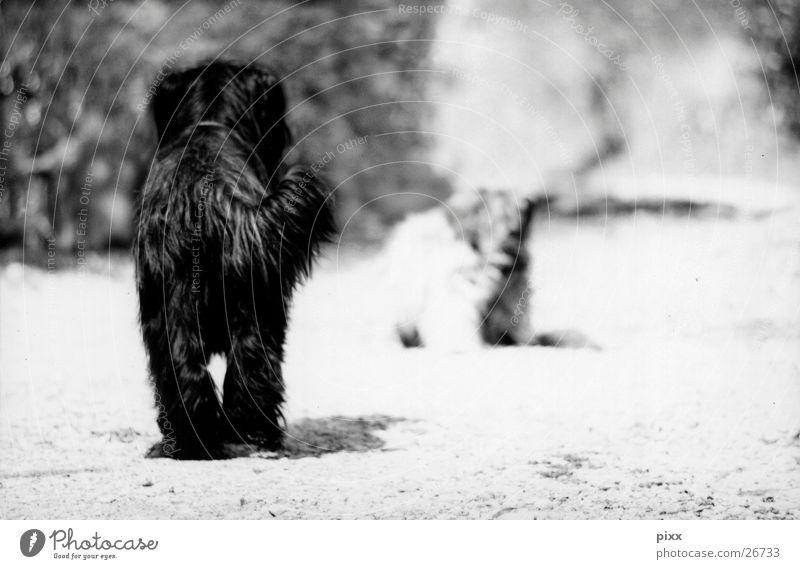 Alte Freunde Sommer Wege & Pfade Fell Haustier Hund 2 Tier schwarz weiß Stimmung ruhig Erwartung Briard Hirtenhund begegnen Schwarzweißfoto Rückansicht Haushund