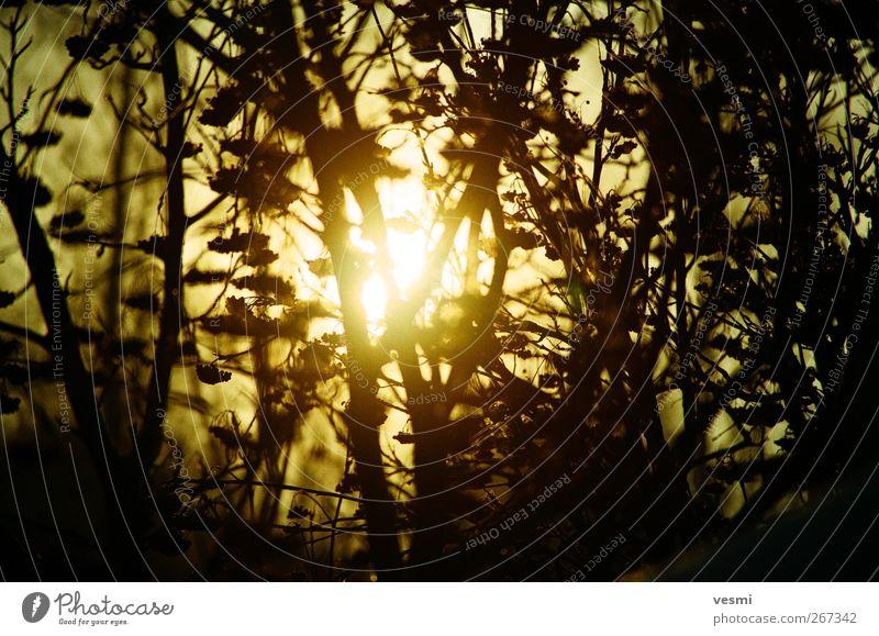 Sonne Umwelt Natur Sonnenaufgang Sonnenuntergang Sonnenlicht Frühling Sommer Herbst Winter Baum Park genießen braun gelb Ast Sträucher Sonnenstrahlen Gegenlicht
