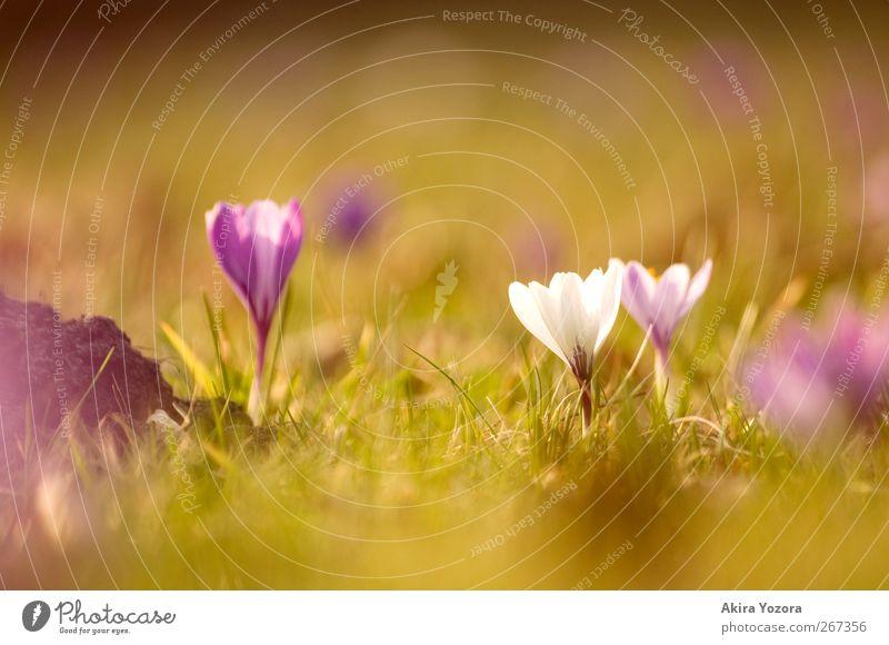 Mama, don't preach Natur Frühling Schönes Wetter Pflanze Blume Gras Blüte Park Wiese Blühend stehen Wachstum grün violett weiß Frühlingsgefühle Beginn Krokusse