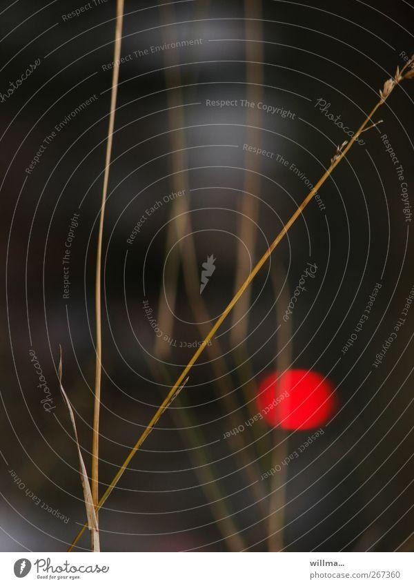 Unten am Fluss Natur Pflanze Halm Gras Flussufer rot Hoffnung Einsamkeit Lichtpunkt Rotlicht Meditation ruhig Japan Detailaufnahme Menschenleer