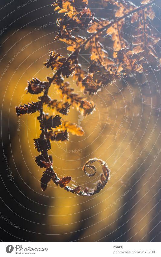 Herbstliches Gekringel Farn Wildpflanze Spinngewebe leuchten außergewöhnlich elegant träumen Traurigkeit Surrealismus gedreht Spirale gold Herbstgold Farbfoto