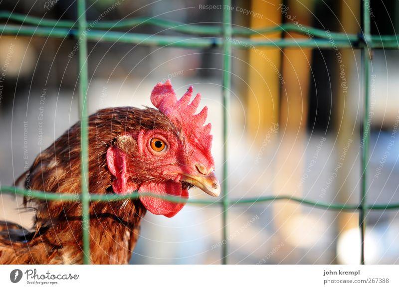 chicken run Hahn 1 Tier beobachten Blick stehen rot Mitgefühl Traurigkeit Einsamkeit Überleben Überwachung Umweltschutz Zaun Maschendrahtzaun gefangen