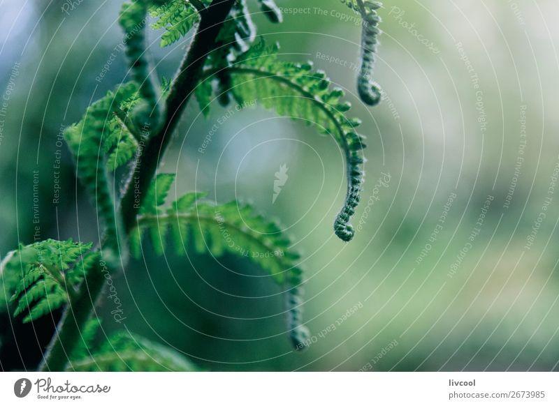 Farnknospe im Wald III Leben Natur Pflanze Baum Urwald nass niedlich grün Farbe Wurmfarn Blütenknospen Australien + Ozeanien Melbourne Victoria live grünlich