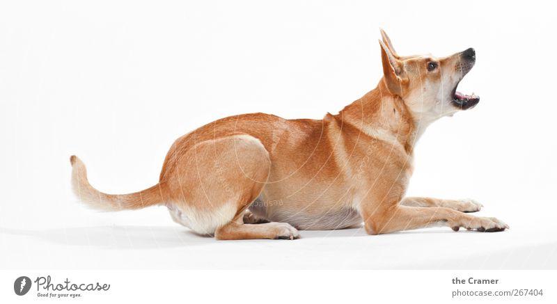 Lotte 05 Tier Hund 1 sprechen liegen toben Aggression bedrohlich Gesundheit frech Freundlichkeit Fröhlichkeit glänzend kuschlig muskulös gelb weiß Glück