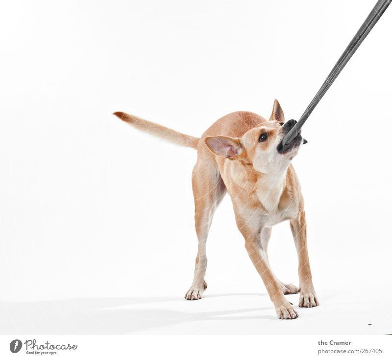 Lotte 04 Tier Hund Tiergesicht Pfote 1 kämpfen Spielen stehen Tauziehen sportlich Gesundheit positiv rebellisch gelb Freude Lebensfreude Kraft loyal Treue