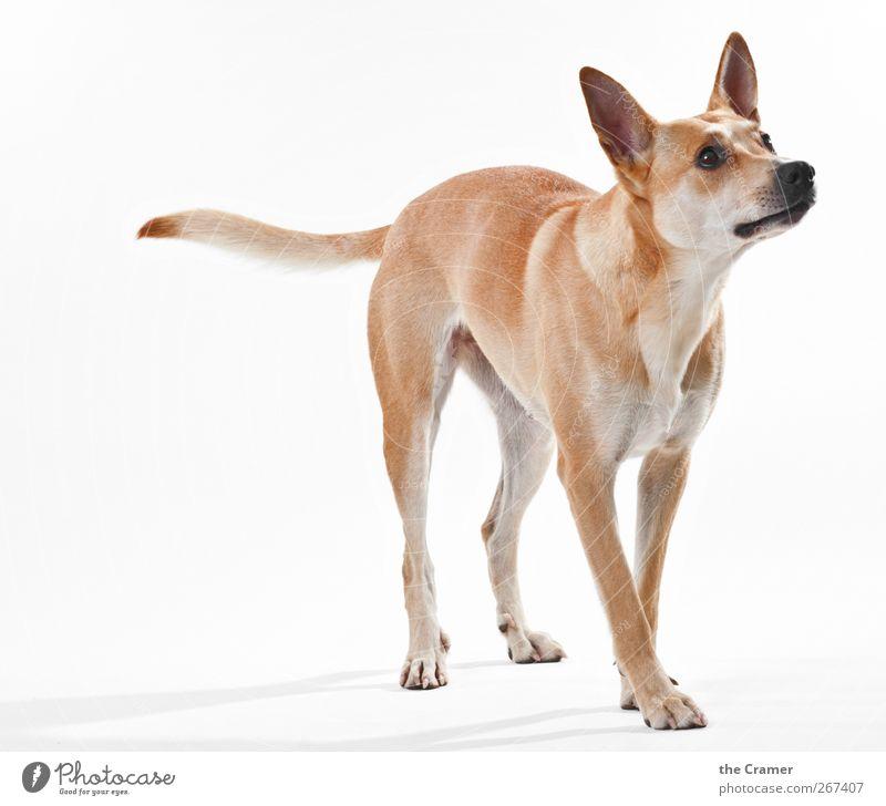 Lotte 02 Tier Hund Tiergesicht Fell Krallen Pfote 1 beobachten Fitness hören warten sportlich Gesundheit muskulös braun gelb gold rot weiß Vorfreude loyal