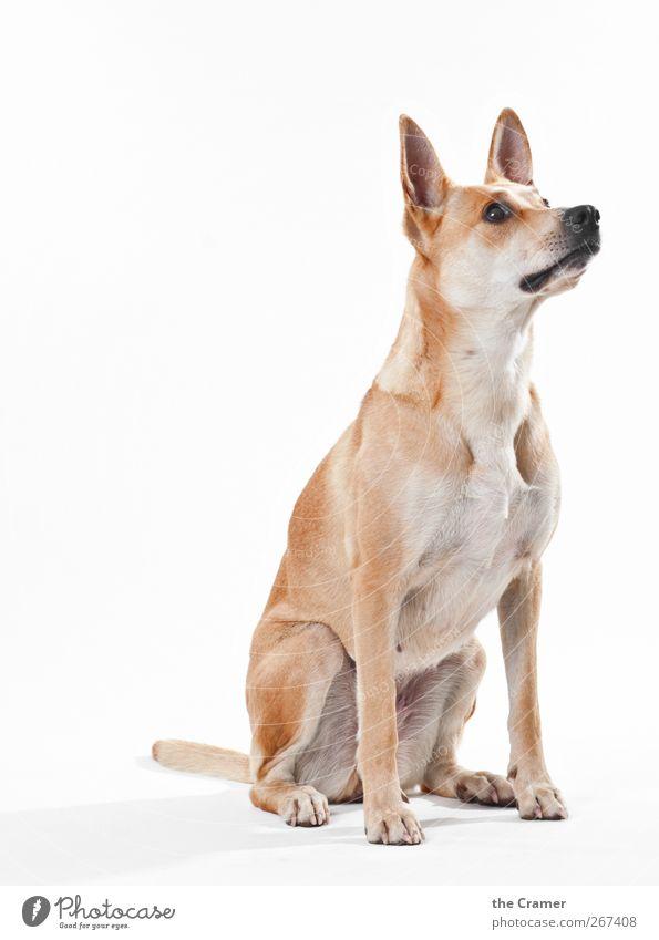Lotte 01 Tier Hund Tiergesicht Fell Pfote Fährte Tierjunges beobachten entdecken sportlich Gesundheit Freundlichkeit Fröhlichkeit listig muskulös braun gelb
