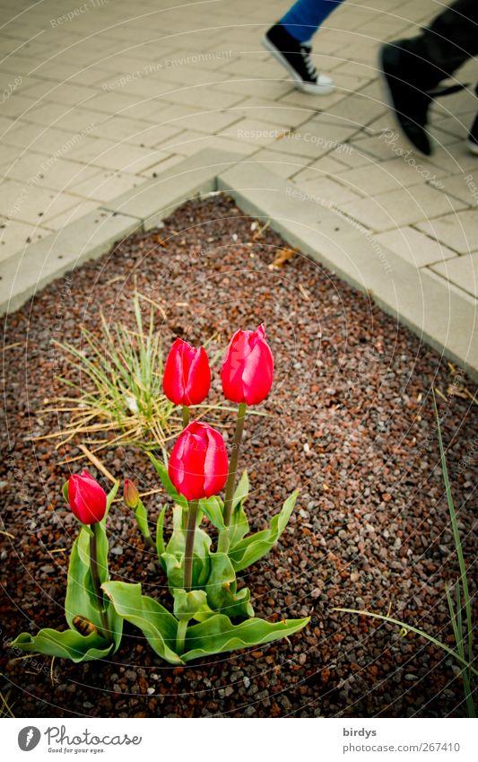 Tulpenwalk 2 Mensch Frühling Pflanze Fußgänger Wege & Pfade gehen leuchten ästhetisch authentisch Bewegung Partnerschaft Natur Stadt Blumenbeet Pflasterweg