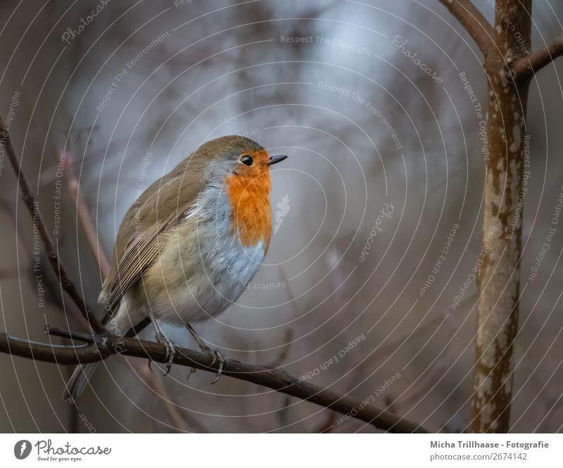 Rotkehlchen im Abendlicht Umwelt Natur Tier Sonnenlicht Herbst Baum Wildtier Vogel Tiergesicht Flügel Krallen Schnabel Feder Beine 1 beobachten glänzend