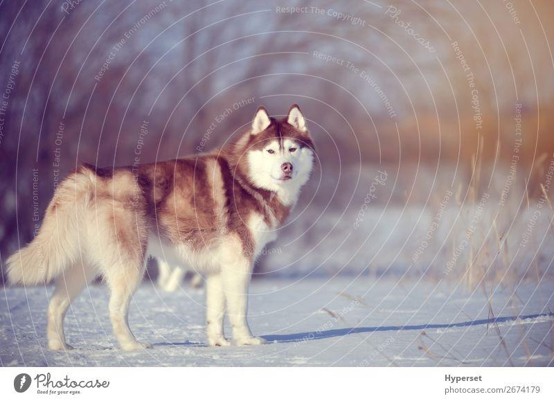 Roter Hund im Winterwald stehend Jagd Schnee Schneefall Baum warten braun rot weiß Windstille laufen Holz kalt Frost Husky Körperhaltung sibirischer Husky
