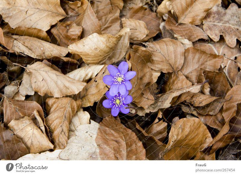 Kreislauf des Lebens Natur Frühling Pflanze Blüte Blätter Leberblümchen Eichenblätter Buchenblätter Waldboden braun gelb violett Frühlingsgefühle Beginn