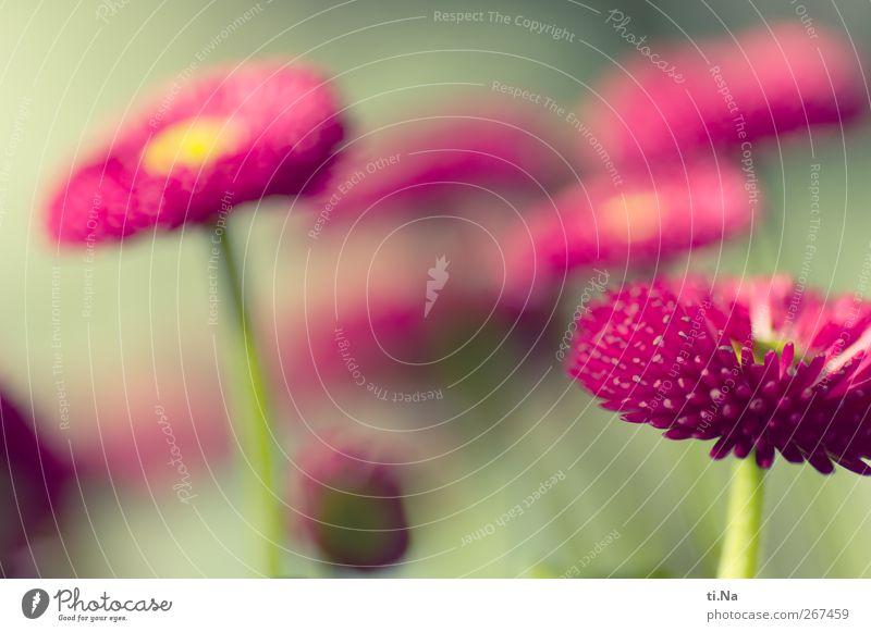 bellissima grün schön Pflanze Frühling Garten Blüte rosa frisch authentisch Schönes Wetter Blühend Duft Gänseblümchen Frühlingsgefühle Topfpflanze