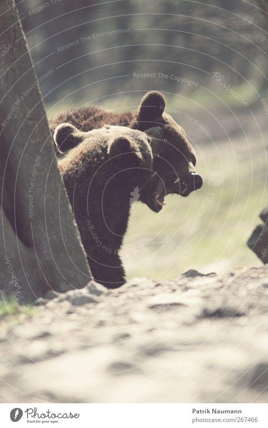 Ehestreit grün Baum Tier Spielen Frühling braun Zusammensein Kraft wild bedrohlich Neugier Fell berühren stark Zoo Wut