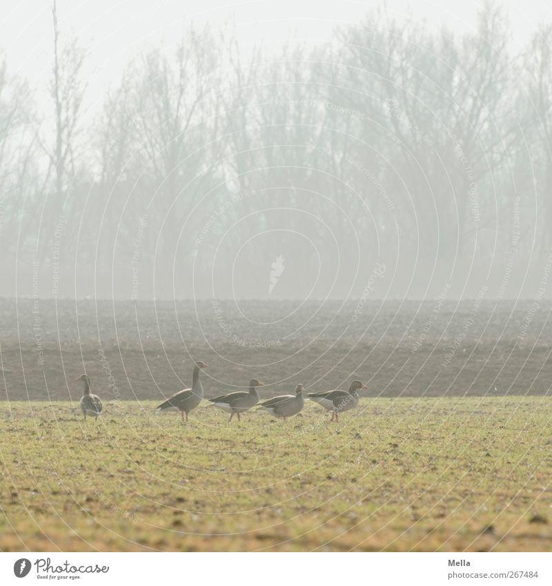 Gänsemorgen Natur grün Tier ruhig Umwelt Landschaft Wiese Freiheit Zusammensein Feld Wildtier natürlich frei stehen Tiergruppe Gans