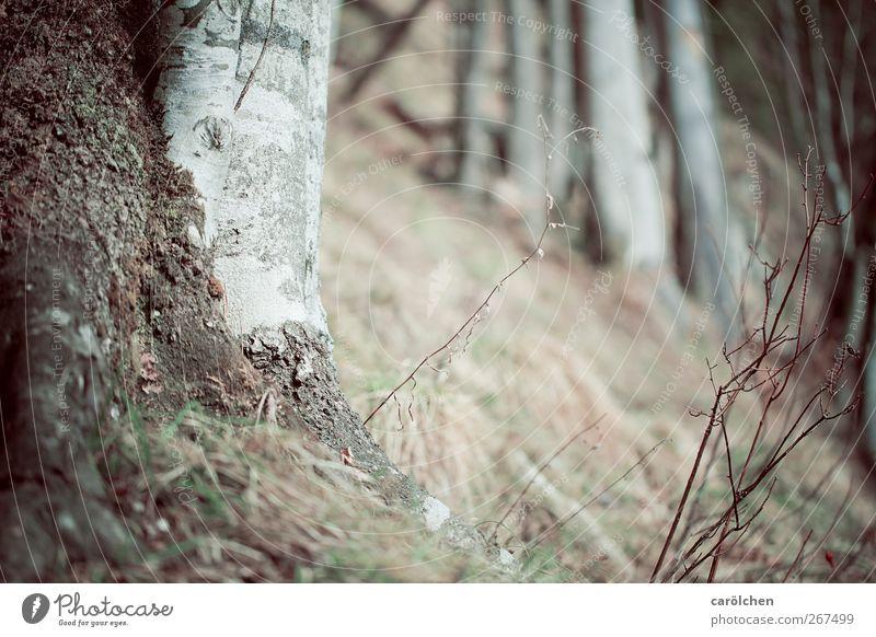 halt Umwelt Natur Landschaft Wald braun grau Birke Berghang Waldboden Wurzelholz Farbfoto Gedeckte Farben Menschenleer Textfreiraum oben Textfreiraum unten