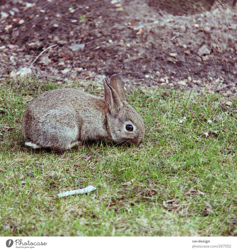 Bald ist Weihnachten Natur grün schön Tier Wiese Gras grau Garten Park Feld sitzen Fell Zoo Hase & Kaninchen Haustier Säugetier