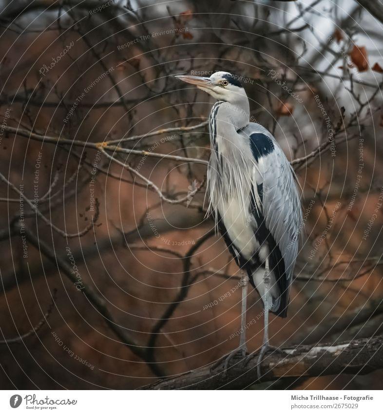 Fischreiher im herbstlichen Baum Natur blau weiß Tier ruhig schwarz Auge Herbst Umwelt natürlich orange Vogel braun Wildtier stehen