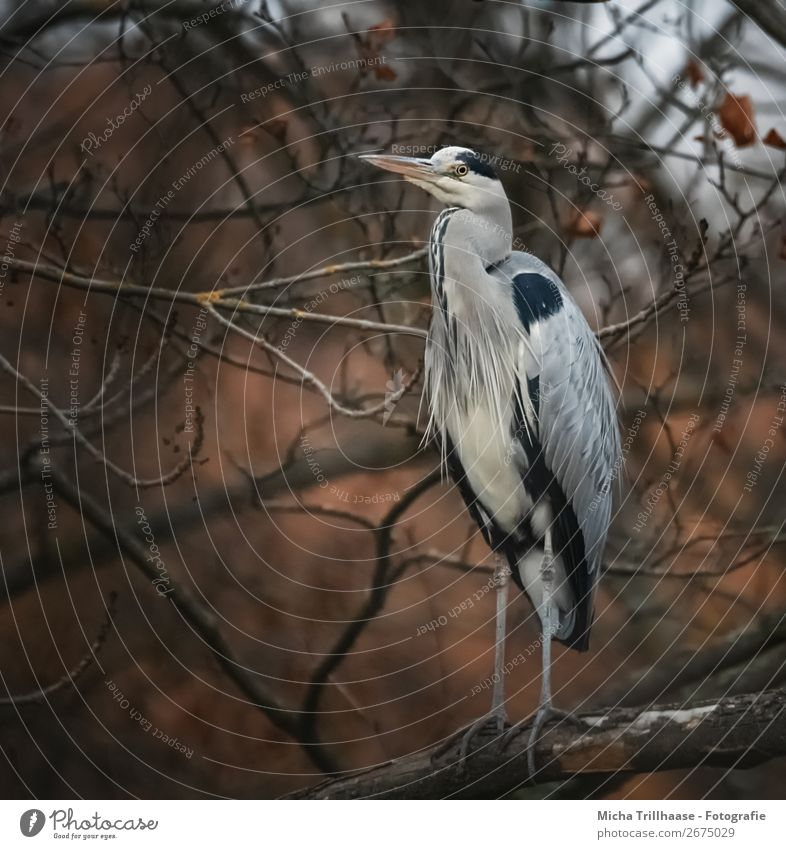 Fischreiher im herbstlichen Baum Natur Tier Herbst Wildtier Vogel Tiergesicht Flügel Krallen Feder Schnabel Auge Graureiher 1 beobachten Blick stehen nah