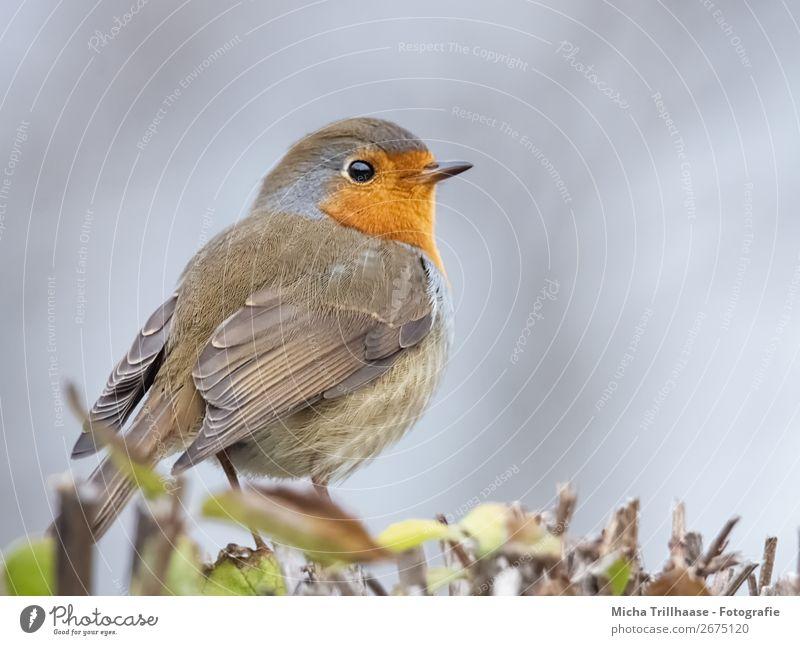Rotkehlchen Portrait Himmel Natur blau grün Tier gelb Auge natürlich orange Vogel glänzend Wildtier stehen Feder Sträucher Schönes Wetter