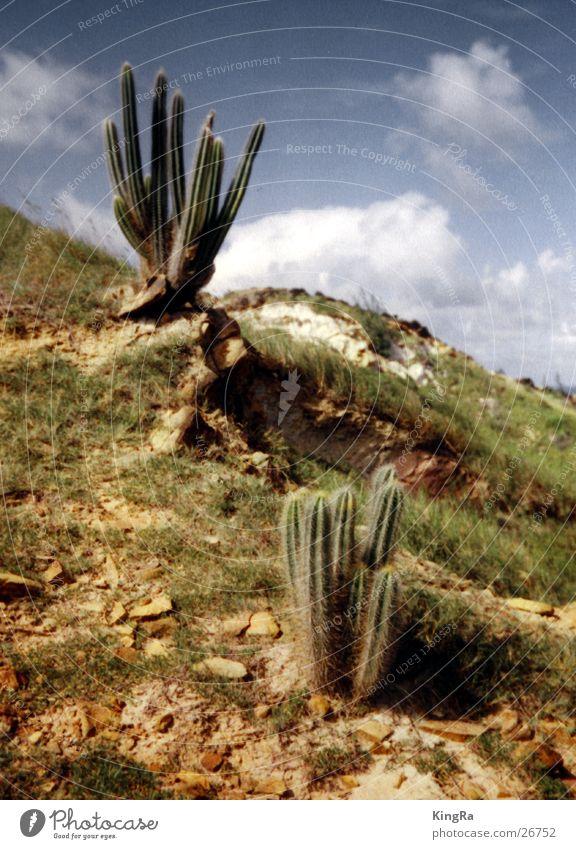 Stacheliges Duo Himmel Sonne grün Pflanze Kaktus karg steinig