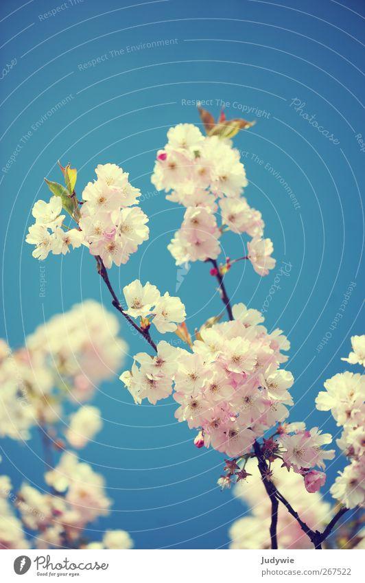 Schönheit Umwelt Natur Pflanze Himmel Wolkenloser Himmel Frühling Schönes Wetter Baum Blume Kirschblüten Blüte Blühend Wachstum ästhetisch Duft schön blau rosa