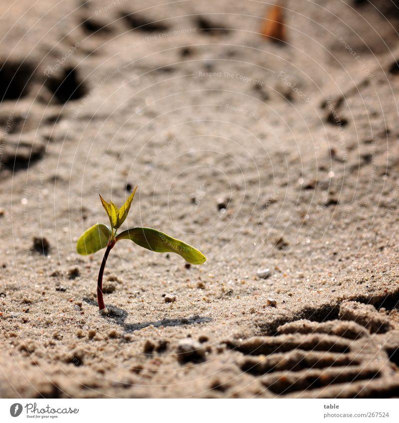 überleben... Umwelt Natur Pflanze Sand Frühling Sommer Baum Blatt Grünpflanze Wildpflanze Keim keimen Trieb Fußspur Profil Wachstum niedlich grau grün Kraft