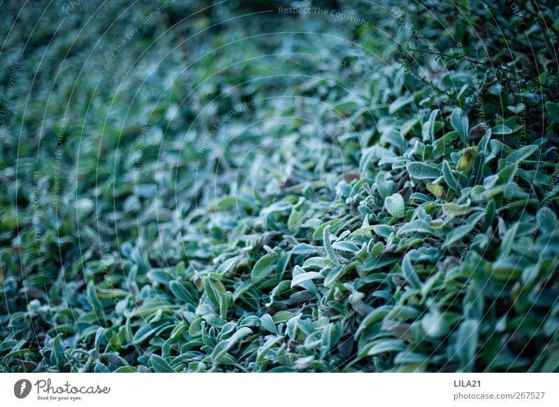 das Blaue Natur Pflanze Sträucher Blatt nass grün Gedeckte Farben Nahaufnahme Strukturen & Formen Menschenleer Textfreiraum links Textfreiraum Mitte Kontrast