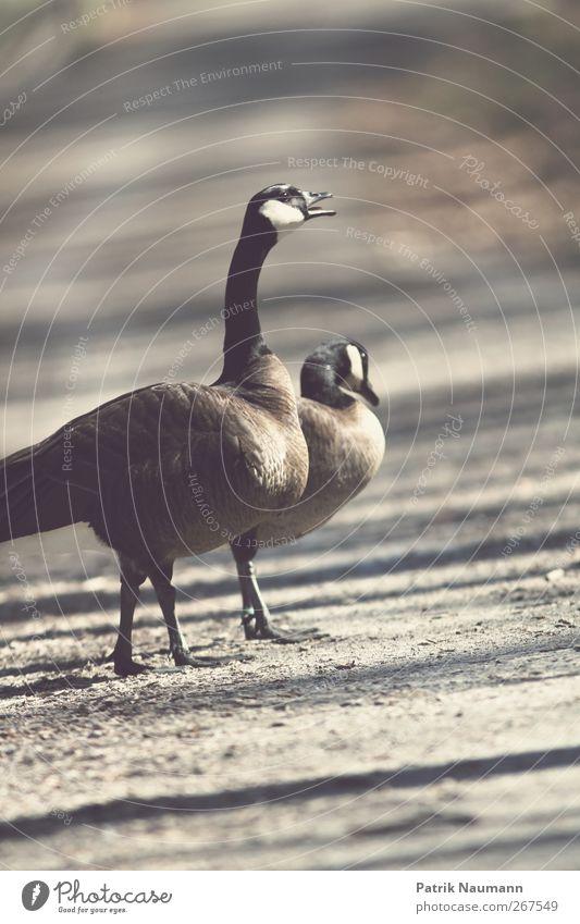 Schreihals Natur Sommer Wetter Schönes Wetter Park Tier Flügel Zoo Ente Gans 2 beobachten Bewegung füttern Jagd Kommunizieren laufen bedrohlich dunkel exotisch