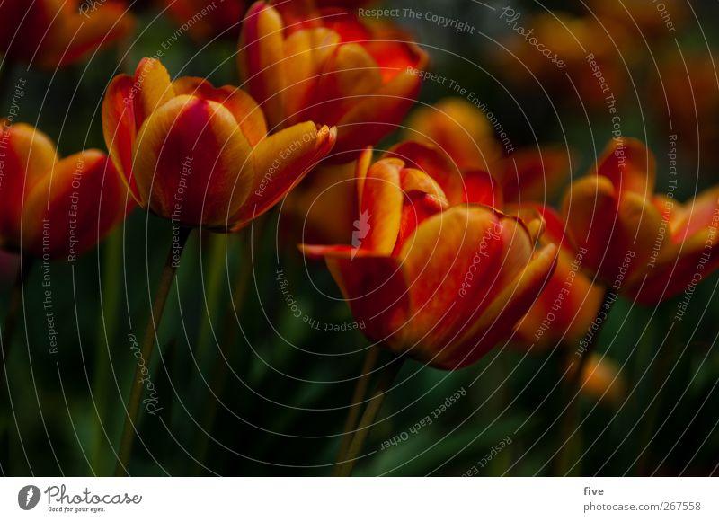 tulip Natur Pflanze Frühling Blume Tulpe Blatt Grünpflanze Garten Wiese ästhetisch Freundlichkeit Wärme mehrfarbig gelb rot Frühlingsgefühle dunkel Farbfoto