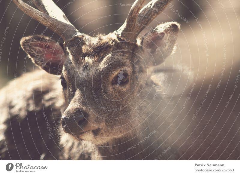 Bambis großer Bruder Tier ruhig Auge Bewegung Freiheit braun Wildtier Fröhlichkeit leuchten niedlich weich Neugier Fell Schutz Freundlichkeit nah
