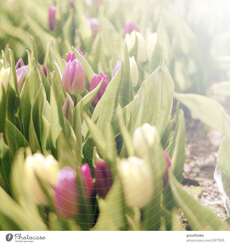 Tulpen-Sonnenbad Natur grün schön Pflanze Sonne Sommer Blume Frühling Garten träumen hell Erde rosa natürlich ästhetisch Fröhlichkeit