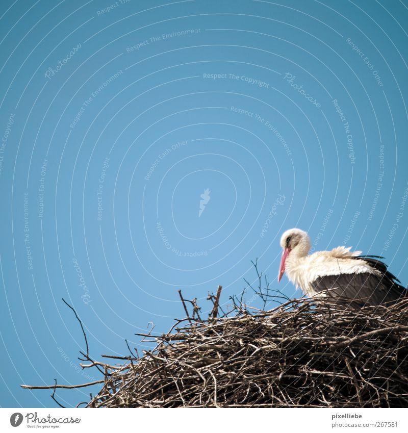 Mama, wo kommen die Kinder her? Natur Tier Frühling Holz Vogel fliegen sitzen Beginn Sicherheit Warmherzigkeit Flügel Schönes Wetter Schutz Vertrauen Wachsamkeit Geborgenheit