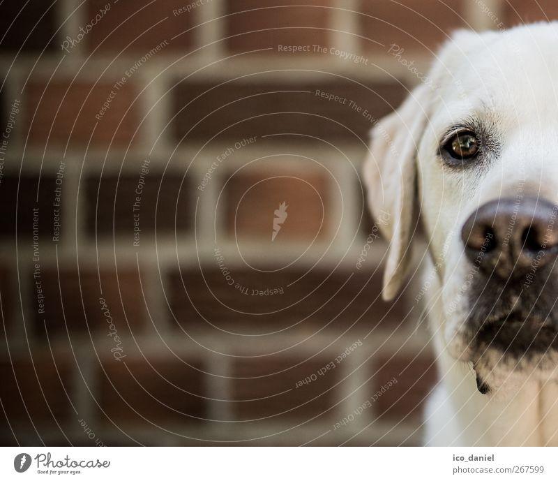 ...halber labi... elegant Mauer Wand Fassade Tier Haustier Hund Tiergesicht 1 Blick Freizeit & Hobby Werbung Zufriedenheit Labrador Backstein Backsteinwand