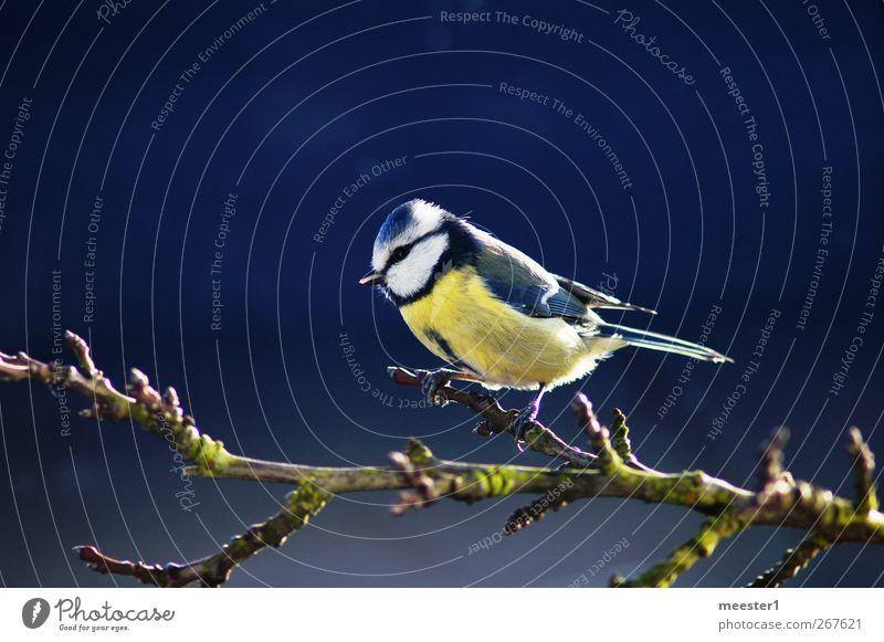 Blaumeise Vogel natürlich niedlich frech Mittelpunkt