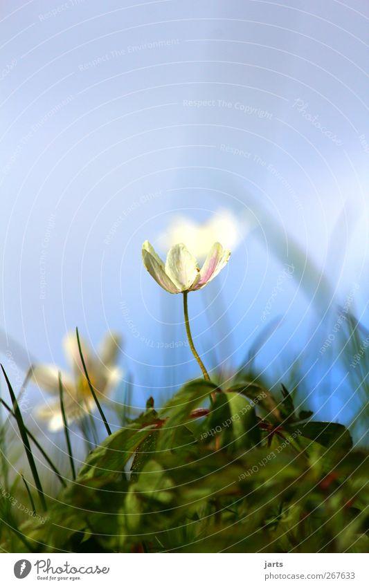 klein aber fein Umwelt Natur Pflanze Himmel Frühling Schönes Wetter Blume Blüte frisch glänzend natürlich schön Freiheit Farbfoto Außenaufnahme Nahaufnahme