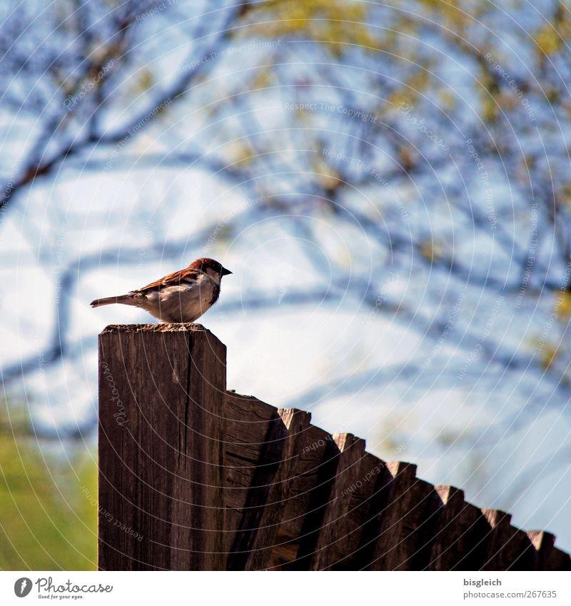 Zaun-König II Tier Vogel Spatz 1 Holz Blick sitzen klein blau braun grün Wachsamkeit Farbfoto Außenaufnahme Menschenleer Textfreiraum oben Tag
