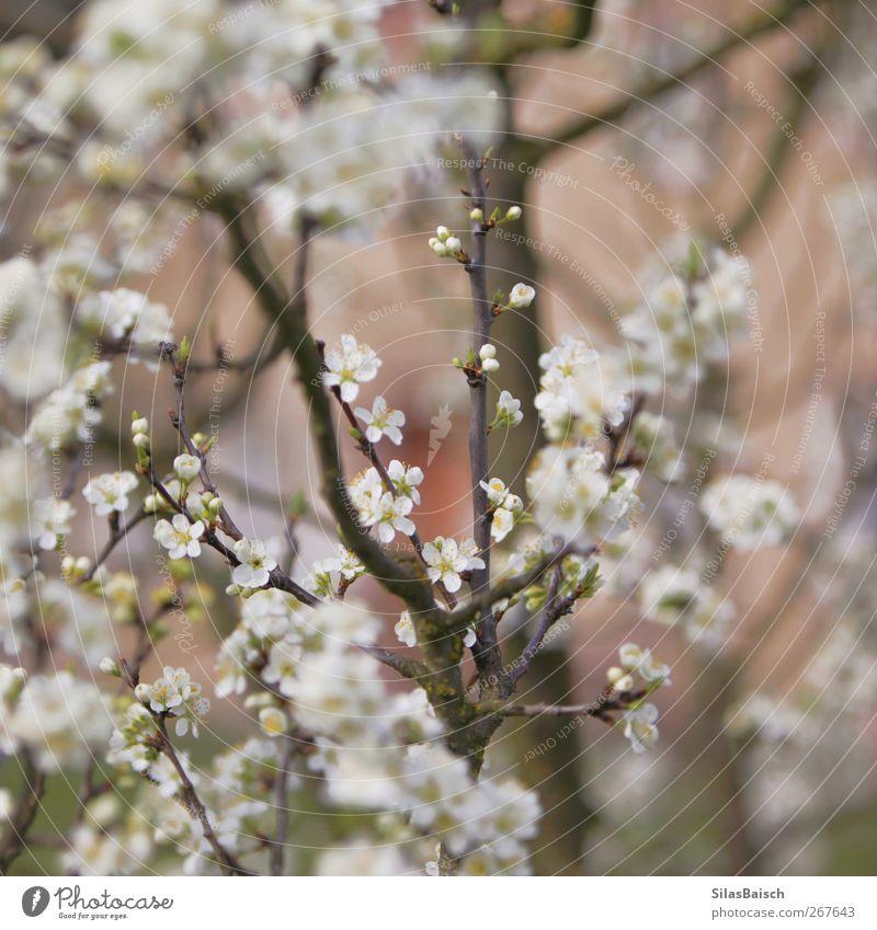 Hier werden einmal Äpfel hängen Frucht Apfel Umwelt Natur Landschaft Pflanze Baum Blatt Blüte Grünpflanze Garten Park Wiese Duft saftig weiß Blühend