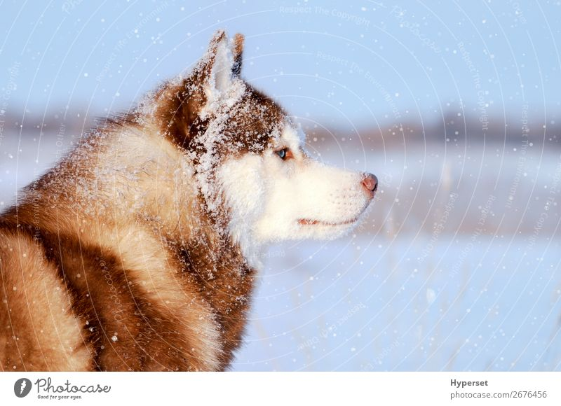 Husky reinrassiger Hund in den weiten Schneefällen Winter Tier Schneefall Mantel Pelzmantel Haustier blau grau weiß geschlossen Reinrassig keine Leine Seite