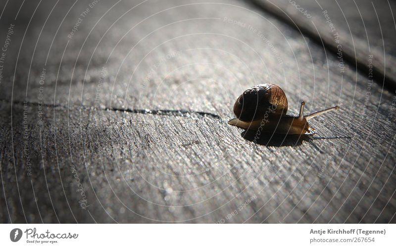 Der lange Weg... Natur Tier ruhig klein braun glänzend Wildtier nass niedlich Schutz Sehnsucht Fernweh Schnecke Ekel krabbeln Tierliebe