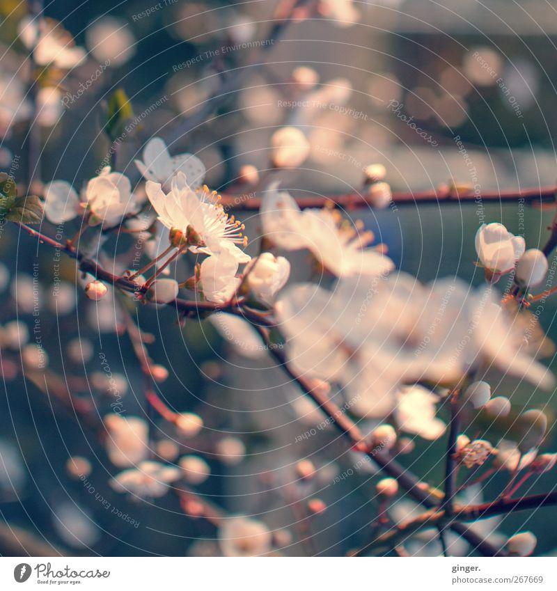 Zarte Verführung Umwelt Natur Pflanze Frühling Klima Schönes Wetter Blume Blüte Nutzpflanze Blühend Wachstum Duft rosa weiß Frühlingsgefühle zart Punkt