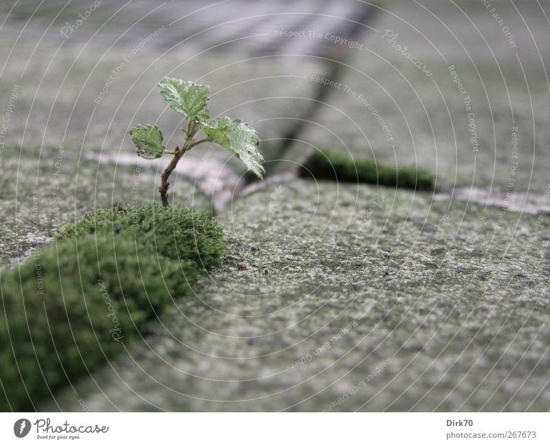 Bonsai auf norddeutsch Natur Pflanze Baum Moos Blatt Birke Terrasse Pflastersteine Fuge Stein Wachstum einzigartig natürlich stark Stadt grau grün schwarz
