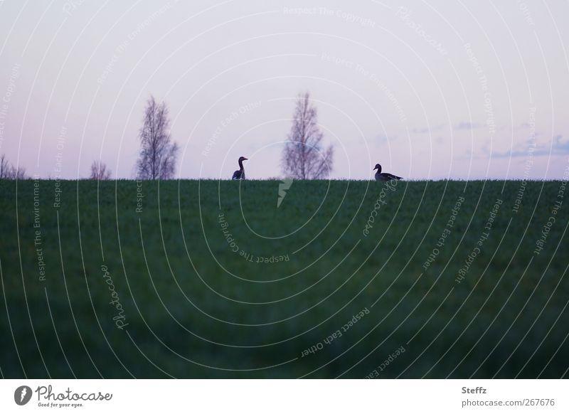 just the two of us Natur Tier ruhig Umwelt Wiese Gras Frühling Horizont Vogel Zusammensein Tierpaar Hügel violett Abenddämmerung Gans Angesicht zu Angesicht