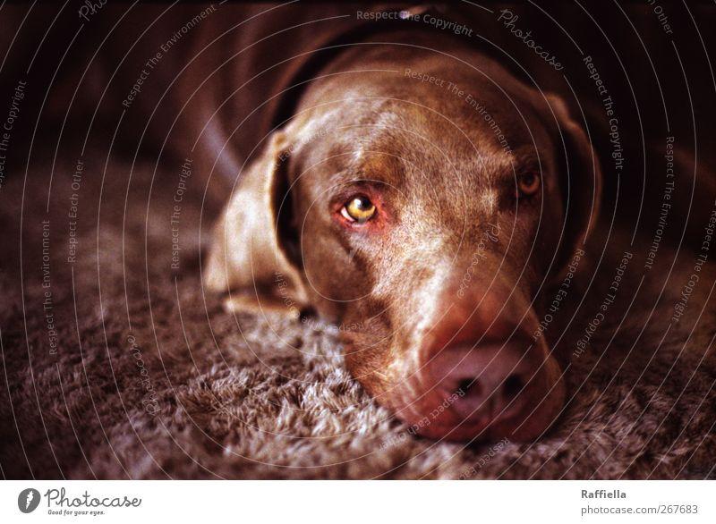 träumer II Tier Haustier Hund Tiergesicht 1 beobachten genießen liegen Blick träumen braun Auge Ohr Nase Halsband Teppich Müdigkeit Halbschlaf Farbfoto