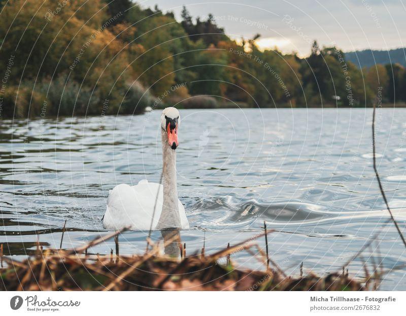 Schwan im See Natur Landschaft Pflanze Tier Wasser Himmel Sonne Herbst Schönes Wetter Wildtier Vogel Tiergesicht Flügel Schnabel Feder 1 beobachten Blick