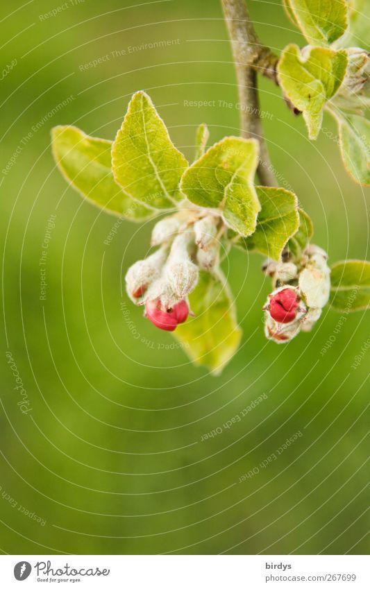 Eisprungzeit Natur Pflanze Frühling Baum Nutzpflanze Blütenknospen Apfelbaum Apfelbaumblatt Blühend Duft leuchten authentisch Freundlichkeit frisch natürlich