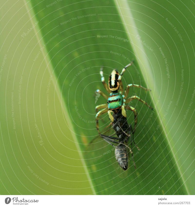 Überlebenskampf Natur Tier Grünpflanze Wildtier Totes Tier Fliege Spinne Springspinne 2 fangen Fressen grün Beute erbeuten festhalten kämpfen Appetit & Hunger
