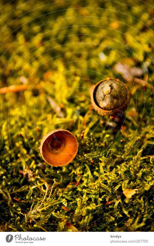 Schicksale Natur Pflanze Moos Eicheln Fruchtstand Samen liegen warten authentisch Duft klein natürlich Wärme braun gelb grün Vergänglichkeit