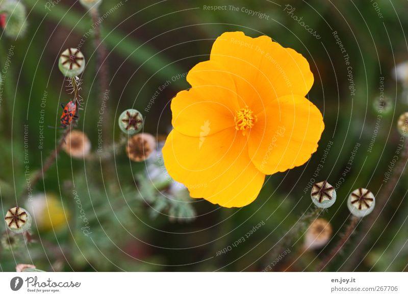 gelb Pflanze Blume Blüte Wildpflanze Wiese Käfer 1 Tier Blühend Duft leuchten verblüht Wachstum schön Kitsch natürlich grün Gefühle Fröhlichkeit Lebensfreude