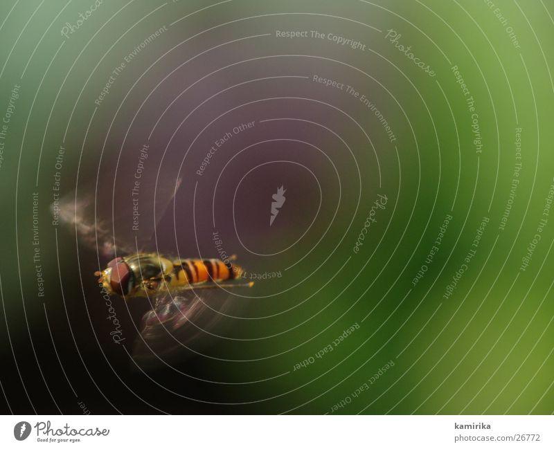 fliegende gemeine schwebfliege Schwebfliege Schweben Sommer Hummel Biene Staubfäden grün Blume Verkehr winterschwebfliege Fliege Bremse Nektar