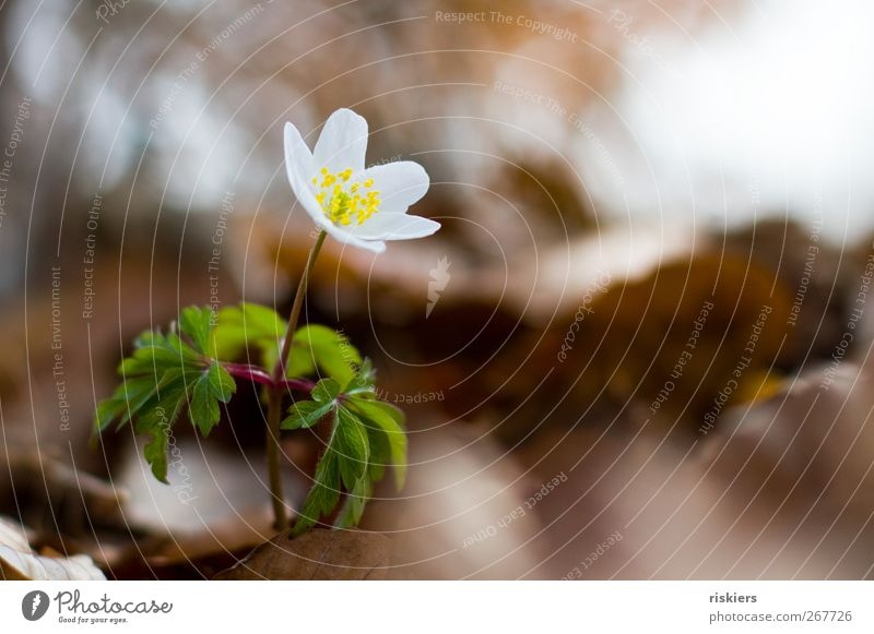 standing alone Umwelt Natur Frühling Pflanze Blume Blüte Wildpflanze Park Blühend Wachstum braun grün weiß ruhig standhaft Buschwindröschen Farbfoto